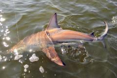 Shark-Featured